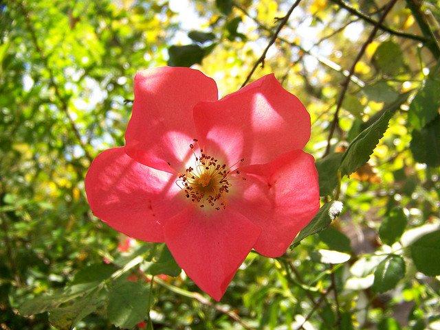 fleurdglantine.jpg